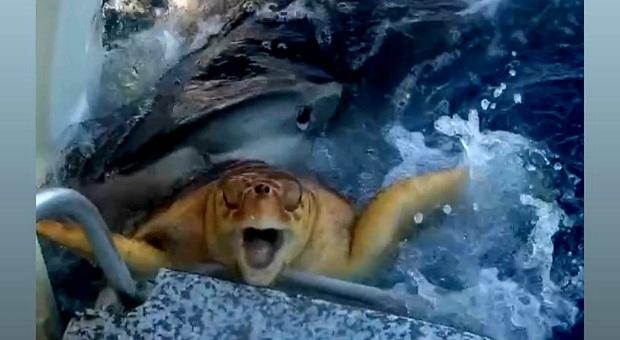 La tartaruga in bocca allo squalo (immag e filmato pubbl da kaiowenfishinginc Kai Survance su Instagram)