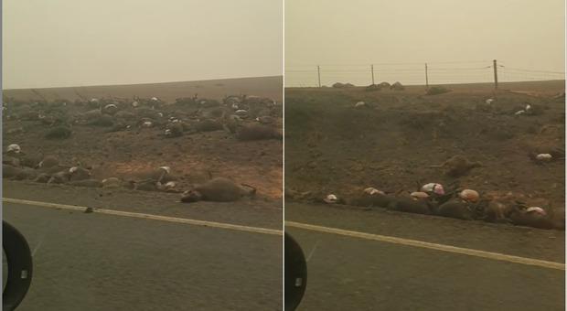 Centinaia di animali morti bruciati lungo le strade. (immagini pubblicate da The 'new' Batlow Hotel su Facebook)