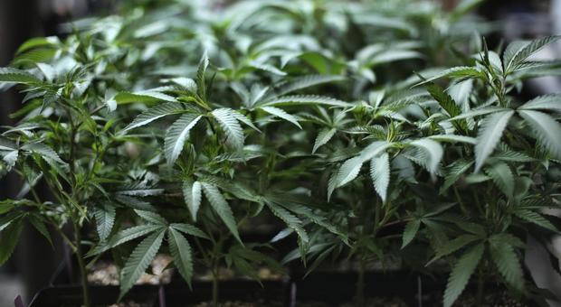 Cannabis, scoperte due nuove sostanze: una è 33 volte più potente del Thc