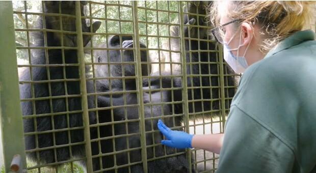 Vaccino anti Covid agli animali, allo zoo di New Orleans si parte con scimmie e tigri: «Ma è diverso da quello per gli umani»