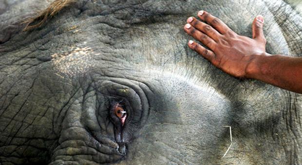 L'elefante pigmeo trucidato con 70 colpi di pistola (immagine pubblicata da New Straits Times)