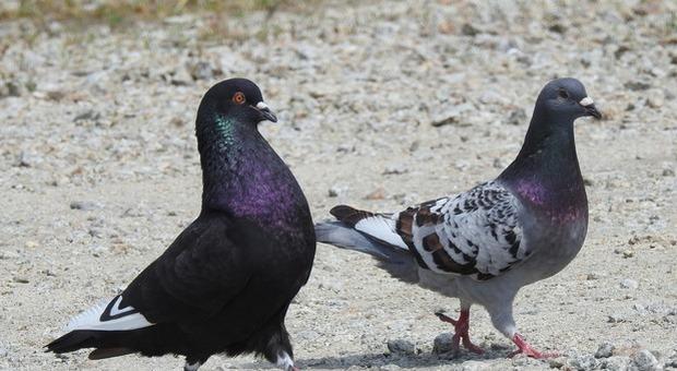 I piccioni hanno le zampette mozzate, una ricerca scopre gli involontari colpevoli: i parrucchieri - Il Messaggero