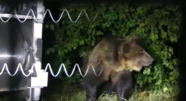 Castrato e imbottito di tranquillanti l'orso M49. Gli animalisti sul piede di guerra. (immagine diffusa da Ansa)