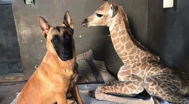 Giraffa abbandonata appena nata, Jazz ora ha un cane per amico (immagine pubblicata su Facebook da The Rhino Orphanage)