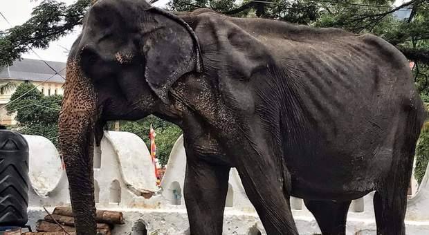 Tikiiri, la vecchia elefantessa malata e malnutrita, usata per le cerimonie di un festival in Sri Lanka (immagine pubblicata da Asian Wild Aid Foundation AWAF)