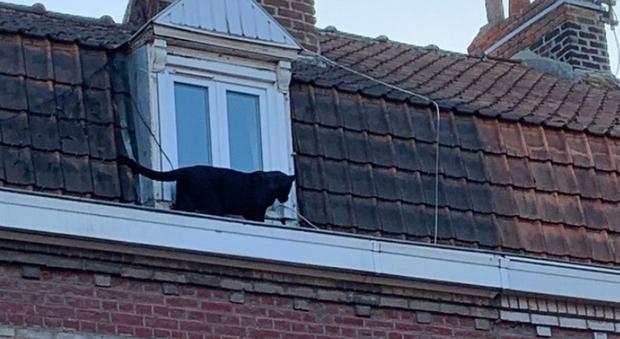 Pantera nera a spasso sui tetti: sedata e catturata, ma nessuno sa da dove venga