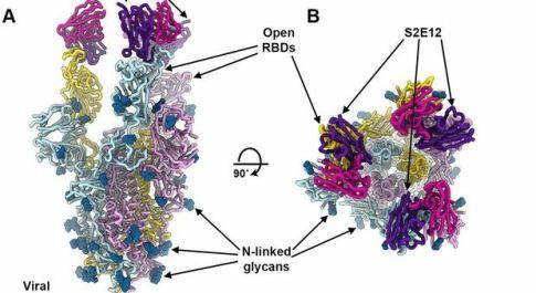 Covid, un mix di super anticorpi blocca l'ingresso del virus nelle cellule