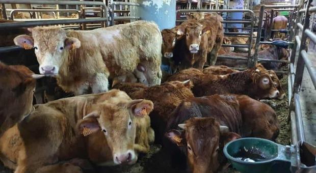 """Nave con bovini """"infetti"""" in Spagna, i veterinari di Cartagena: «Abbatteteli»"""