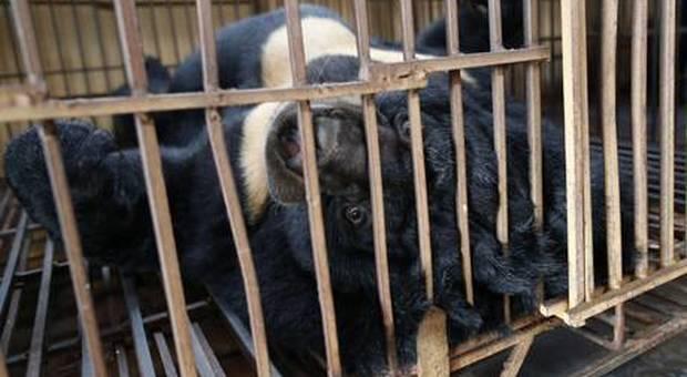 """Uno degli orsi detenuti nelle cosiddette """"fattorie della bile"""". (immagine pubblicata da Ansa)"""