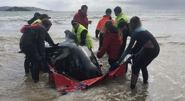 Australia, troppe le balene spiaggiate. Saranno abbattute. (immg da Tasmanian Government Wildlife Management)