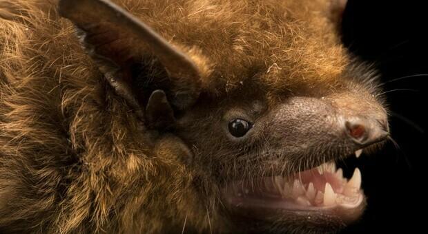 Morto di rabbia dopo il morso di un pipistrello. Gli scienziati: «Rarissimo»