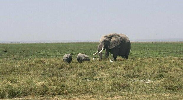 Kenya, baby boom di elefanti: da inizio pandemia sono nati 140 nuovi cuccioli