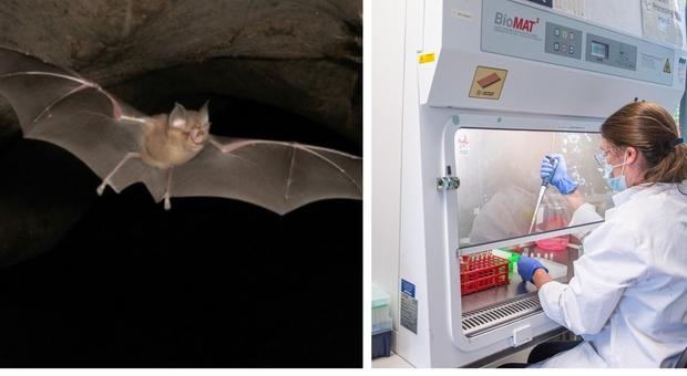 """Covid, allarme di """"Nature"""": trovati parenti del coronavirus nei pipistrelli in Giappone e Cambogia"""