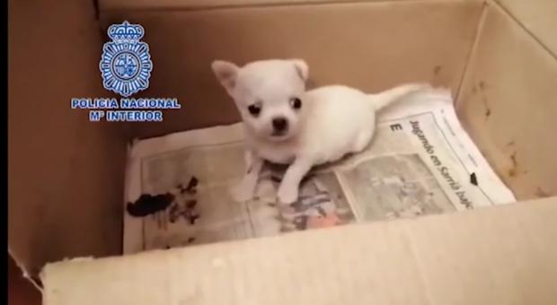 Oltre 250 chihuahua sequestrati: ad alcuni avevano reciso le corde vocali