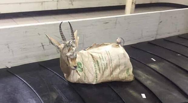 Tripoli, gazzella libica trasportata in aereo come se fosse un bagaglio qualunque