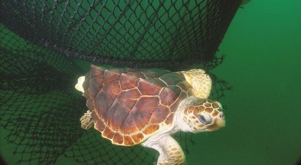 Pescara, catturate dai pescerecci: oggi tornano in mare 14 tartarughe