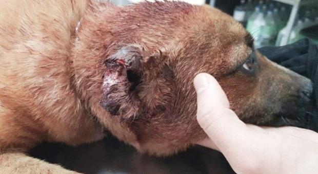 Il povero cucciolo, ribattezzato Leone, sul tavolo del veterinario. (Immagini pubbl da Ragusa Oggi e Oipa sez Ragusa su Fb)