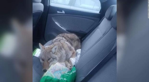 Investe un cane nella notte e lo soccorre. Soltanto più tardi si accorge che è un coyote. (immag pubblicata su Fb da Cnn)