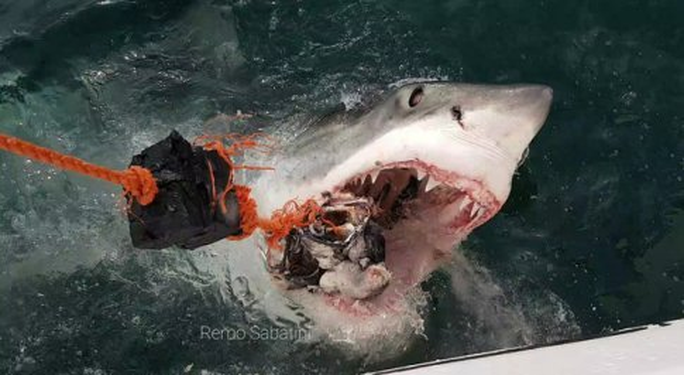 Squalo bianco di quasi sei metri catturato e ucciso in vendita al mercato del pesce in Tunisia (immag di repertorio Remo Sabatini)