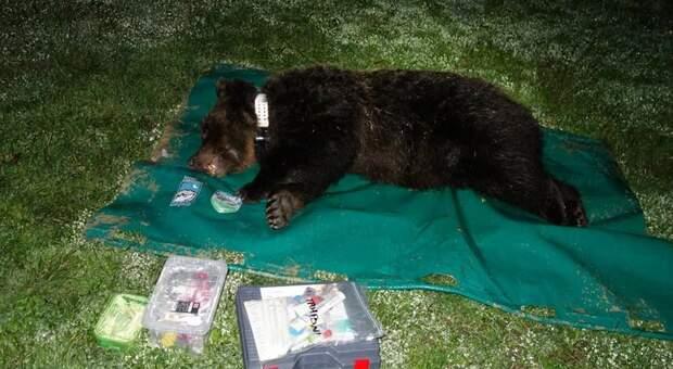 """Attirata con ceste di mele e catturata l'orsa Peppina, la specialista negli """"attacchi"""" ai pollai"""