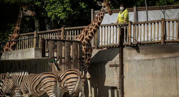 April, la giraffa webstar nel 2017.