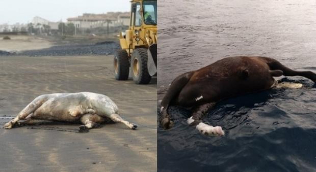 """Mucche e tori """"spiaggiati"""", giallo a Tenerife: stupore tra residenti e turisti"""