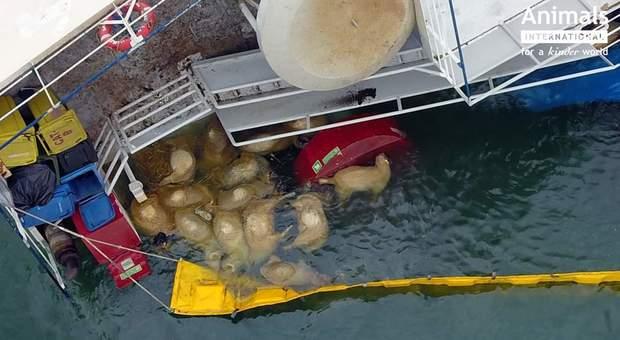 Alcune delle 14mila pecore affogate nel naufragio. (immagini pubblicate su Fb da Animals International)