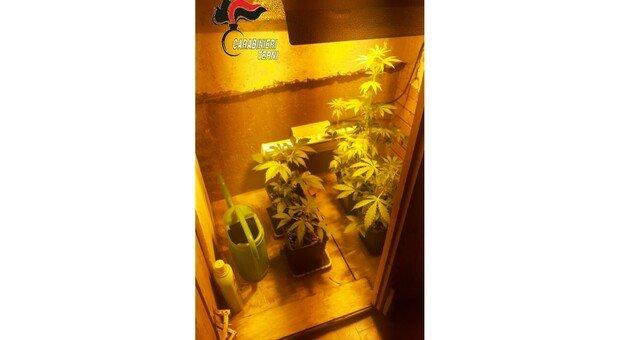 Marijuana coltivata sul terrazzo di casa: Arrestato pusher ternano