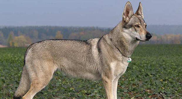 Lupi Selvatici Incrociati Con Cani Sequestrati 229 Esemplari Ibridi
