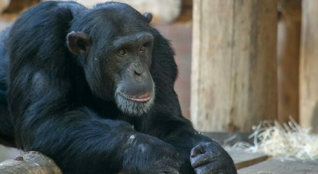 Uno scimpanzè del DierenPark Amersfoort (immagine pubbl dal DierenPark Amersfoort)