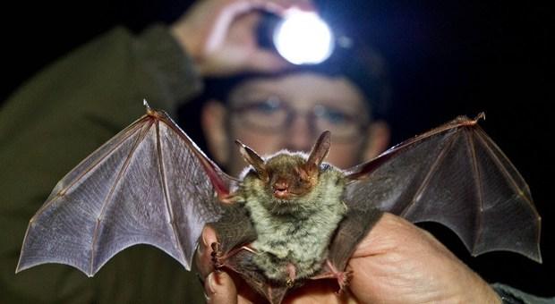 Ebola, allarme contagio: il virus mortale scoperto in un pipistrello in Liberia