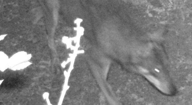 Il lupo è tornato nel Parco Nazionale del Circeo, avvistati alcuni esemplari