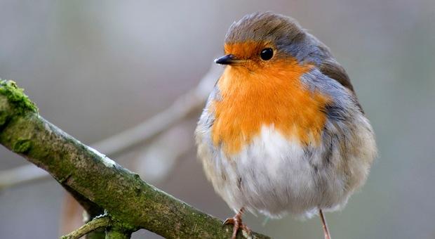 Un pettirosoo nel Parco dei Castelli Romani: gli uccelli spesso gravitavano attorno ai ristoranti per trovare cibo