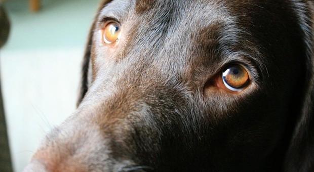 Cagnolino cosparso di acido muore dopo giorni di agonia: è caccia ai responsabili