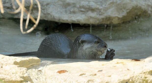 Morta per un tumore la lontra, tra i simboli del Parco d'Abruzzo
