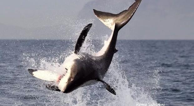 Giornata mondiale degli squali. Uno squalo bianco a caccia. (foto Remo Sabatini)