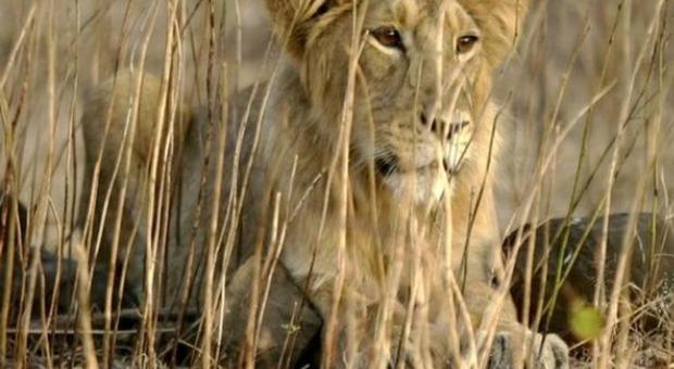 India, leonessa muore di Covid: altri 8 felini sono positivi