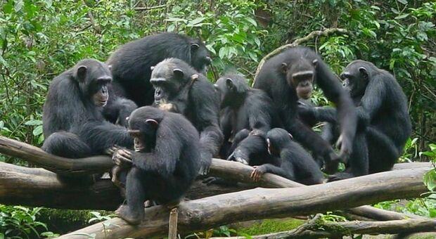 Coronavirus, 96 scimpanzè in lockdown da 4 mesi. «Ora sono a rischio estinzione»