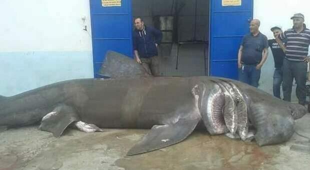 Lo squalo elefante di oltre 10 metri nel porticciolo algerino. (Immagini diffuse dall'associazione Houtiyat su Fb)
