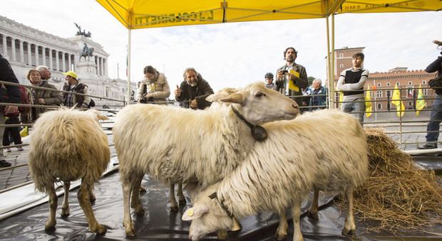 Roma, a piazza Venezia spuntano le pecore. Ma è la protesta di Coldiretti