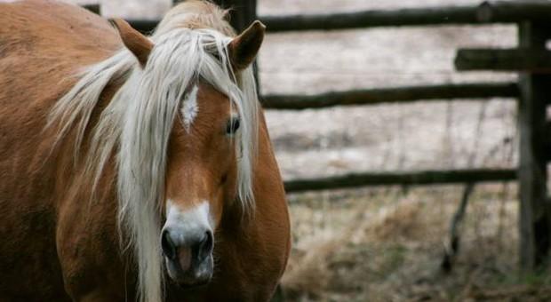 Uno dei cavalli da corsa al macello (immagine pubblicata da The Sidney Morning Herald)