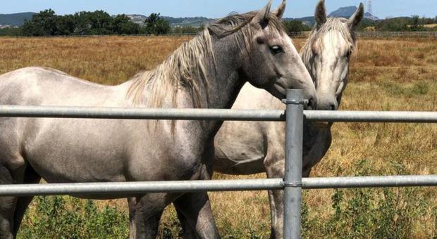 Farmaco ricavato dal sangue dei cavalli, associazione denuncia: «Vengono torturati, ora basta»