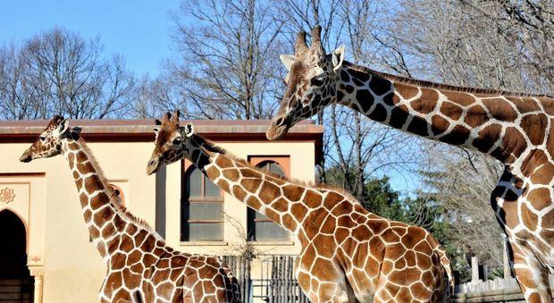 Roma, domenica 19 giugno al Bioparco Sua altezza la giraffa