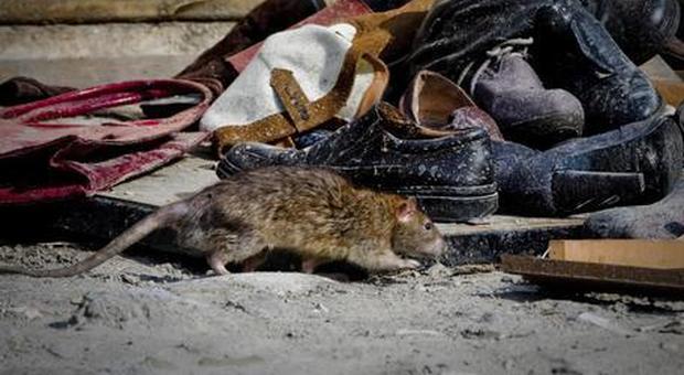 La peste bubbonica torna a far paura: boom di topi e pulci, allarme epidemia a Los Angeles