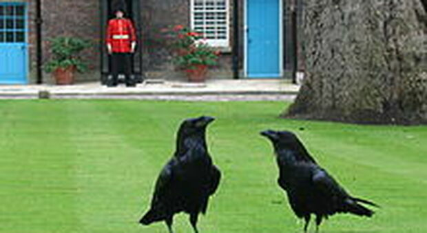 Scomparso il corvo Merlina della Torre di Londra, il Regno teme l'avversarsi di una tragica profezia