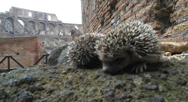 Roma, al Colosseo arriva una colonia di ricci