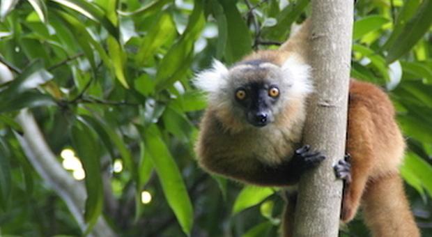 """A Nosy Komba, nella foresta dei lemuri """"maki maki"""""""