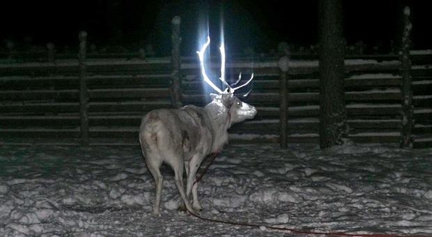 Una delle renne oggetto del progetto (immagini diffuse da Paliskuntain Yhdistys-Reindeer Herders' Association su Fb)