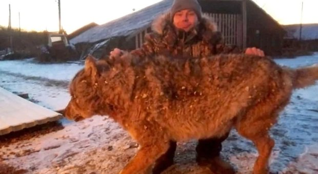 Lupo gli uccide i cani, il contadino lo strangola a mani nude: le drammatiche immagini