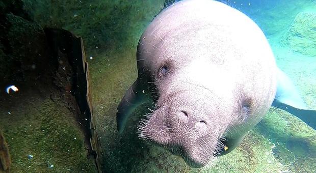 Strage di lamantini in Florida: morti di fame per colpa dell'inquinamento